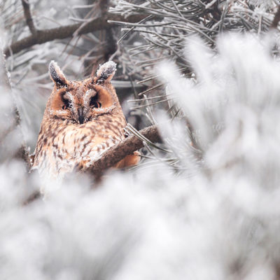 owl with frost, Cluj Napoca