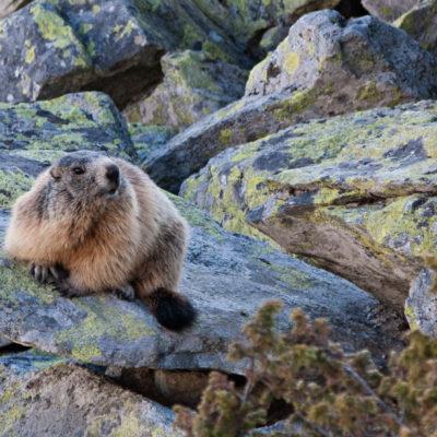 Marmota, Parcul National Retezat