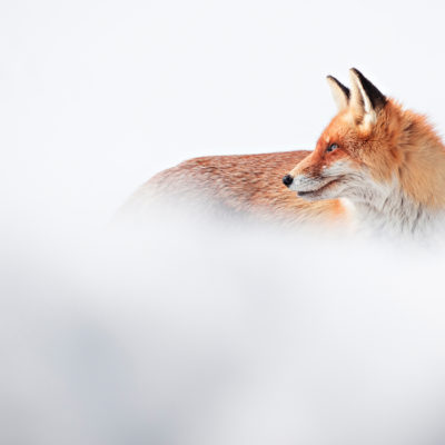 Red Fox, Retezat Mountains National Park